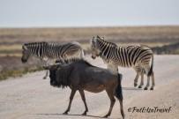 Wildebeest & zebras